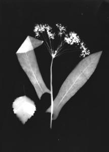 photogramme herbier